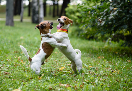 Two funny dogs playing and dancing