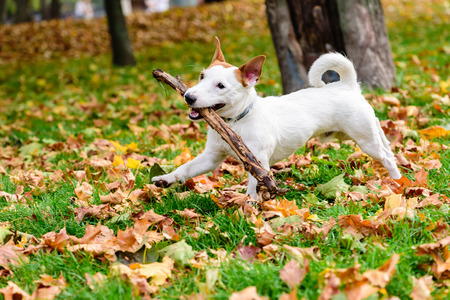 Cute dog with stick playing at fall (autumn) park Standard-Bild