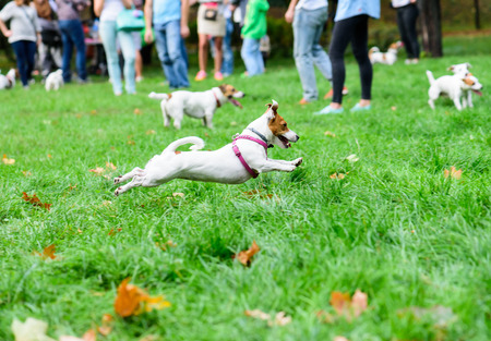 Jack Russell Terrier pet dog owners club meeting