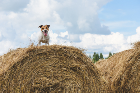 Dog standing on hay stack at farm field