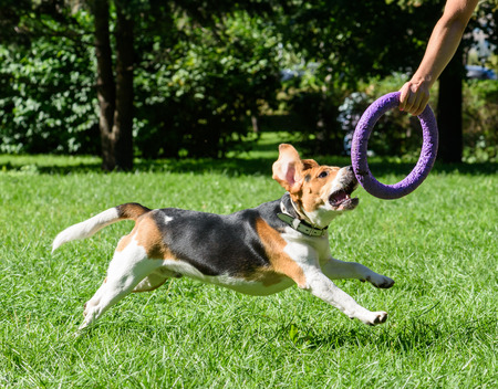 pull toy: Beagle dog and owner playing with pull toy at park