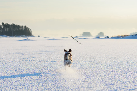 view from behind: Dog running after a stick. View from behind Stock Photo