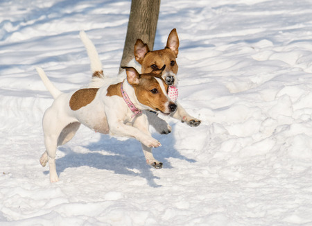 fetching: Two funny dogs running at winter snow path Stock Photo