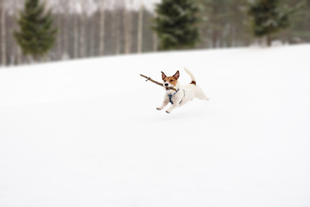 Dog playing with toy on winter snowy golf field