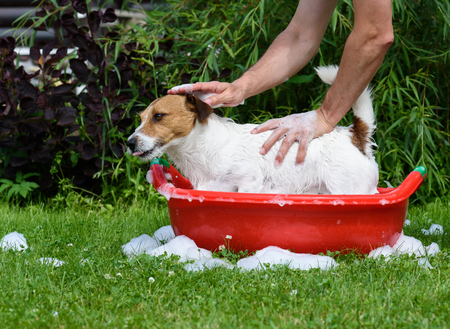 Man washing pet dog in basin with shampoo and soap foam