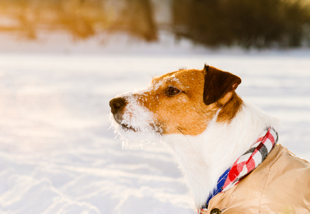 Calm dog with ice covered snout wearing warm apparel