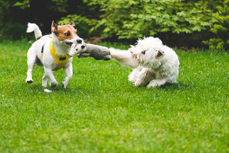 Two dogs playing tug of war with a toy