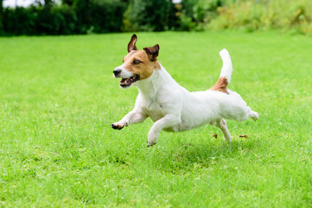 Happy dog ??pet running on a lawn