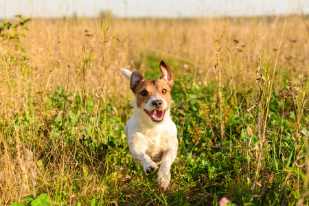 freely: Cute dog running freely at field