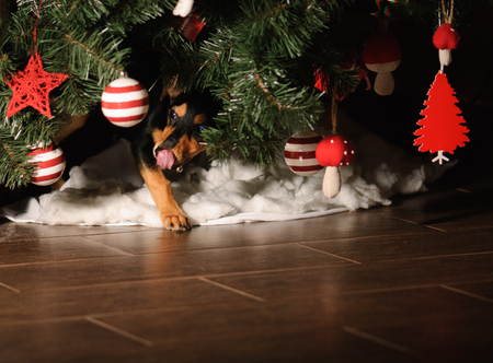 dog ate all presents under New Year tree Stock Photo