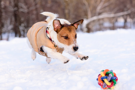 Dog jumping on a toy on snow Stock Photo