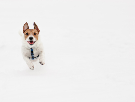 Cute dog running at camera on white background Stok Fotoğraf