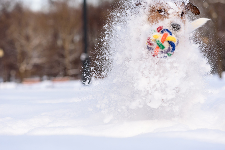 drifts: Dog making huge snow splashes running through drifts Stock Photo