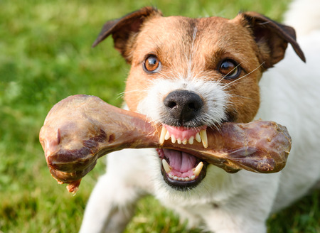 Frightening jaws of angry dog ??protecting big bone