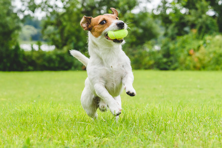 Funny dog ??playing with tennis ball toy on lawn Imagens