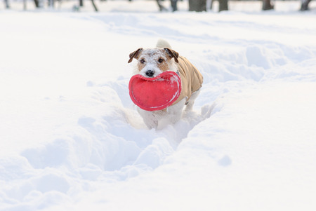 Dog at path through snowdrifts with snout covered with snow