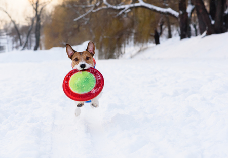 Dog carries flying disk at winter park on camera Stock Photo