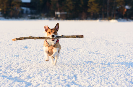 Dog playing with big stick on ice of bay at nice day Stock Photo