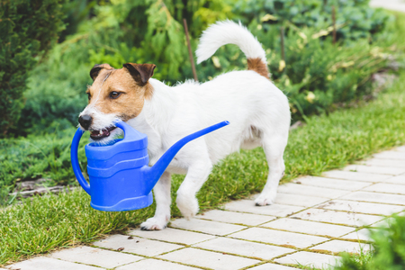 Cute dog as a gardener fetching watering can for irrigation Stock Photo