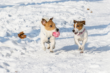 Two dogs playing with a ball at winter park