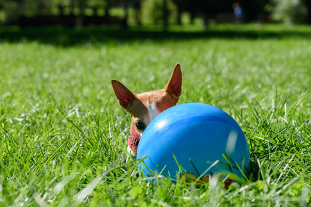 Small dog with big ears hiding behind blue ball