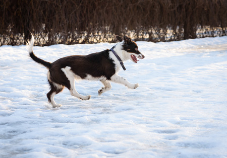 mongrel: Cute brown and white mixed-breed mongrel dog playing on slippery Stock Photo