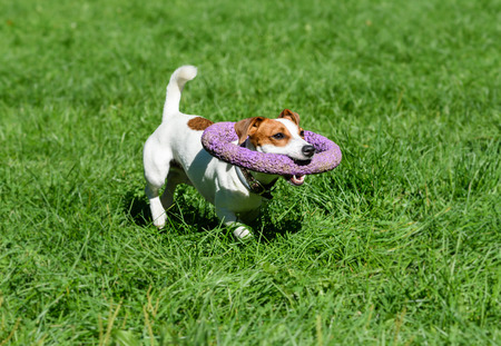 Funny dog fetching huge toy around its neck as collar Stock Photo