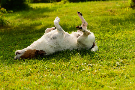 Dog has relaxation time lying down on green grass at shadow