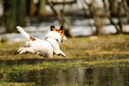 Spring joy at park: dog jumping over melting snow puddles Stock Photo
