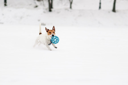 White dog playing with blue toy ball on ice pond