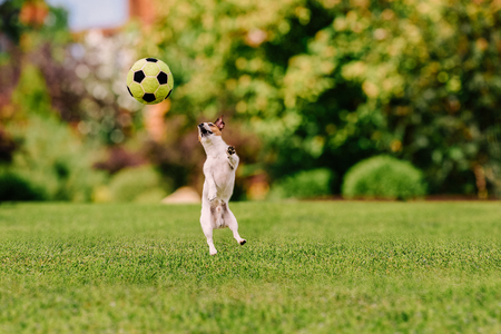 Funny dog jumping at colorful lawn playing with toy football Stock Photo