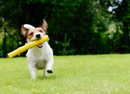 Dog running on summer lawn fetching toy Stock Photo