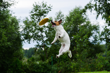 High trick jump of dog catching flying disc
