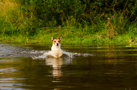 Dog wading across river