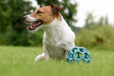 lazybones: Lazy dog doest want to play with toy ball Stock Photo