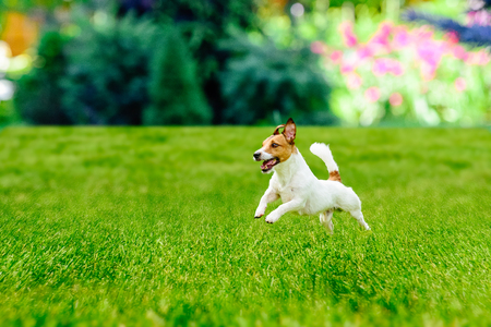Happy active dog playing at colorful garden lawn Standard-Bild