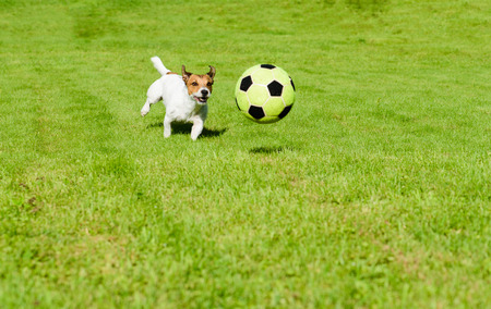 Dog chasing soccer ball playing football on green grass lawn