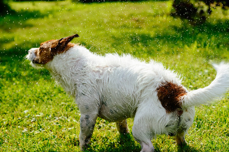 Wet dog shaking off water standing on green grass
