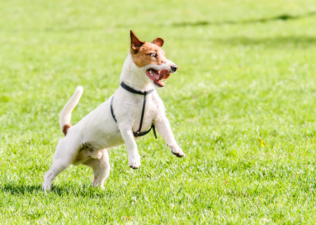 Dog with funny crazy look playing at lawn Stock Photo