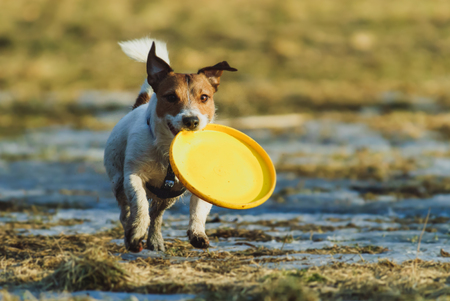 Dog carrying yellow plastic disc walking on melting snow