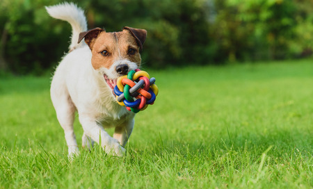 Funny dog looking at camera playing with toy ball Stock Photo