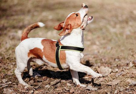 Funny dog fetching  stick invites its owner to play