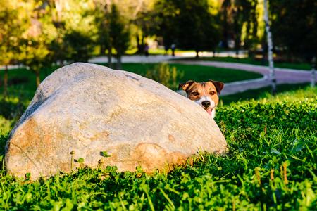Dog peeking over corner playing hide and seek game at park Standard-Bild