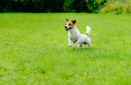 Active dog on green grass background running and playing