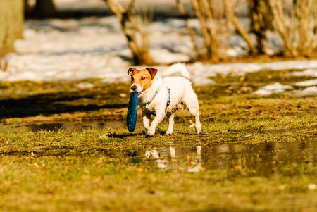 Dog playing toss and fetch game with disk at spring park Stock Photo