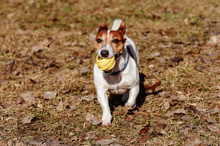 Dog playing with toy rubber ball on last year old leaves Stock Photo