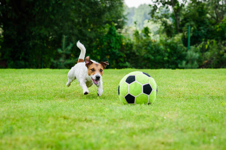 Funny dog playing with football (soccer ball) as forward player