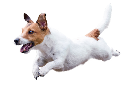 Jack Russell Terrier dog running and jumping isolated on white Reklamní fotografie - 76702122
