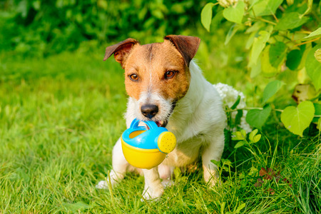 Dog working like gardener irrigating plants with watering can Stock Photo