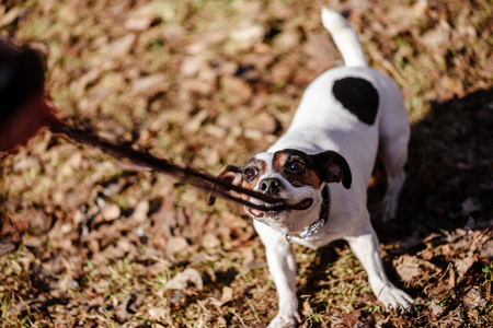 Dog pulling its leash holding it in mouth playing tug-of-war